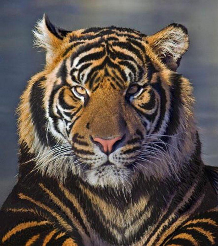 le tigre noir              legende ou pas